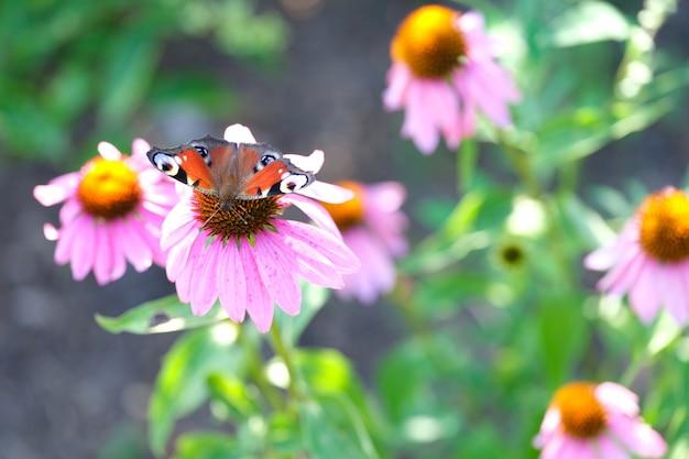 자연의 신선한 봄 아침에 아름다운 분홍색 꽃 말미잘과 꽃에 나비