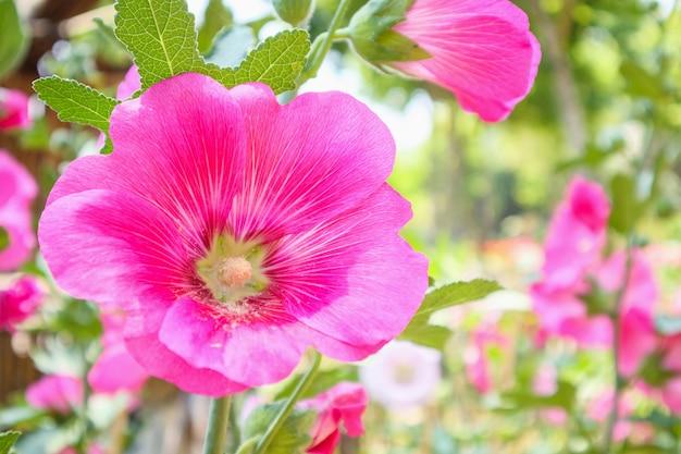 Красивый розовый цветок цветы мальвы украшают в саду