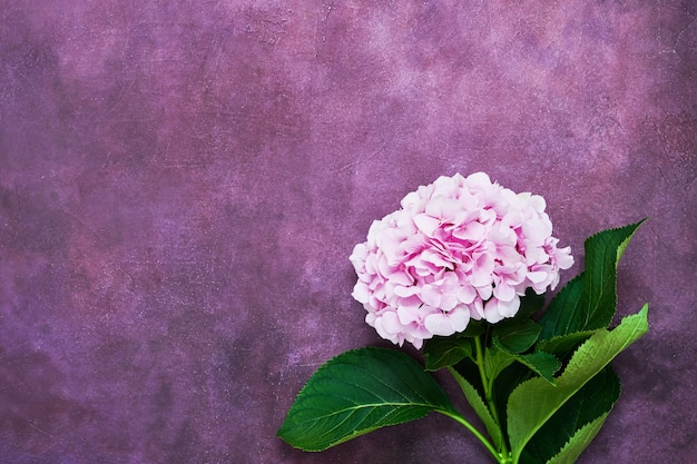 Beautiful pink flower of hydrangea or hortensia on purple background. top view, copy space. holiday background, postcard