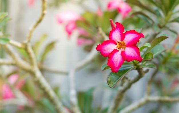 Beautiful pink flower impala lily.