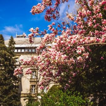 Beautiful pink flower magnolia tree in the margaret island - budapest, hungary.