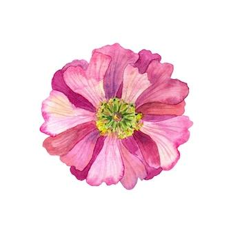 黄色い雄しべを持つ美しいピンクの花。水彩手描きイラスト。白で隔離