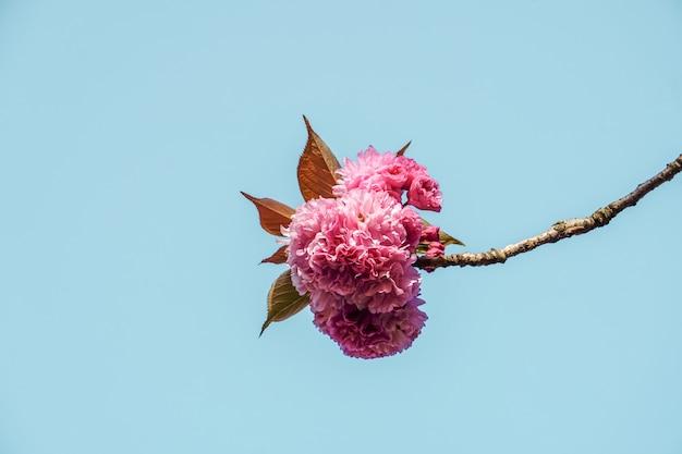 봄철의 아름다운 분홍색 꽃과 푸른 하늘