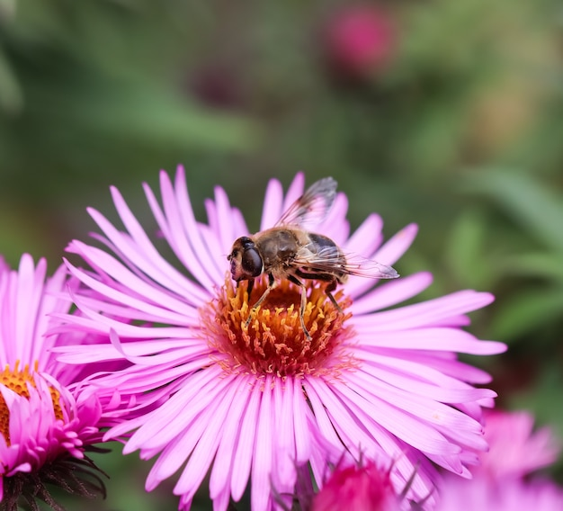Beautiful pink flowers of autumn aster with a bee in the garden