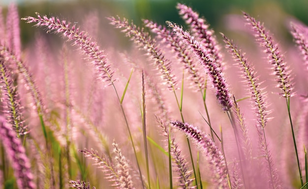 Beautiful pink flowers grass in nature background.