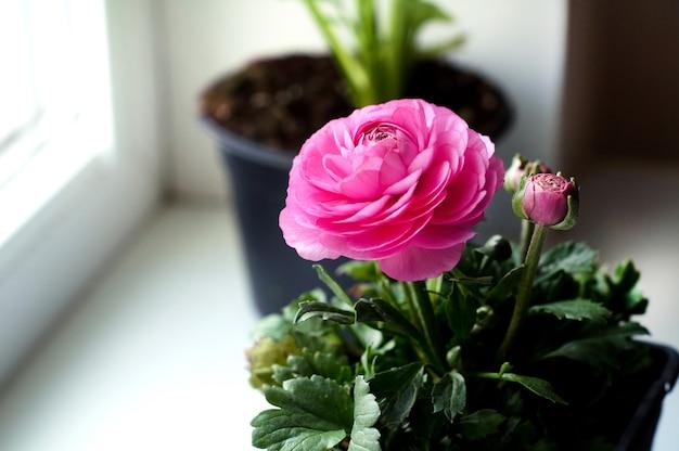 窓辺の鍋にキンポウゲの美しいピンクの花