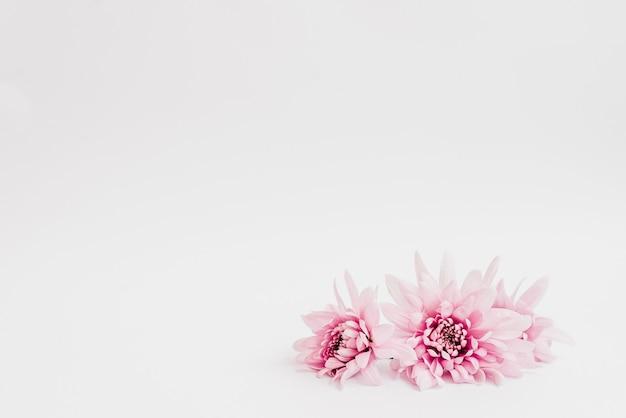 Красивые розовые цветы на белом фоне