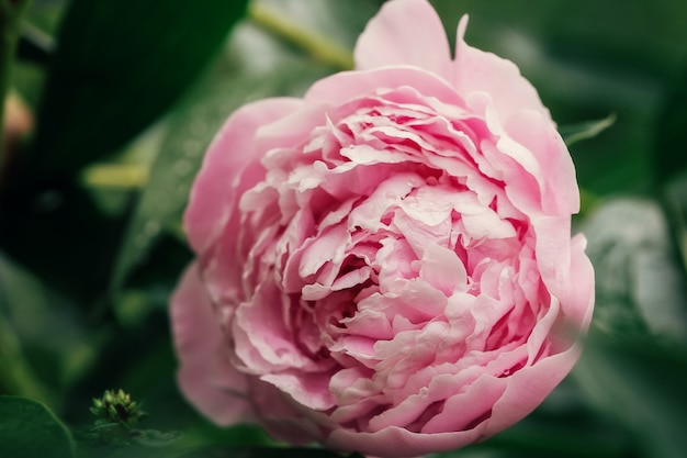 Красивые розовые свежие цветы и бутоны большие пионы с каплями после дождя крупным планом