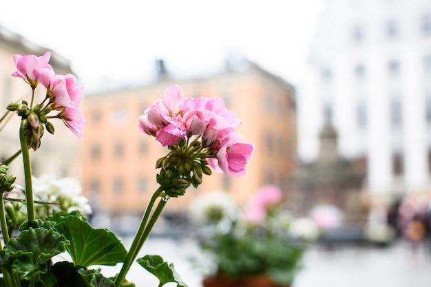 Красивая розовая герань