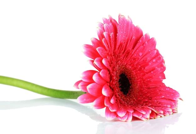 白で隔離される美しいピンクのガーベラの花
