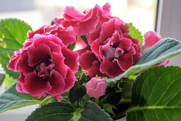 白い窓辺に広い緑の葉を持つ美しいピンクのグロキシニア