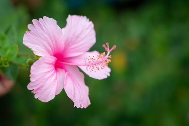 美しいピンクのハイビスカスの花が咲いています。