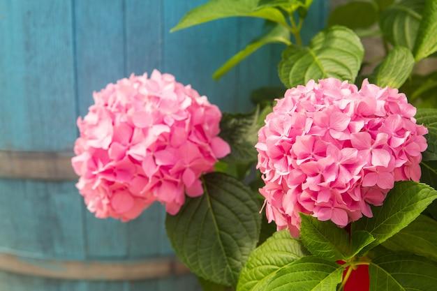 Beautiful pink hortensia by a blue wooden barrel. summer flowers