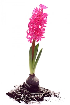 Beautiful pink hyacinth with bulb over white