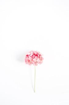 아름 다운 핑크 수 국 꽃 흰색 절연