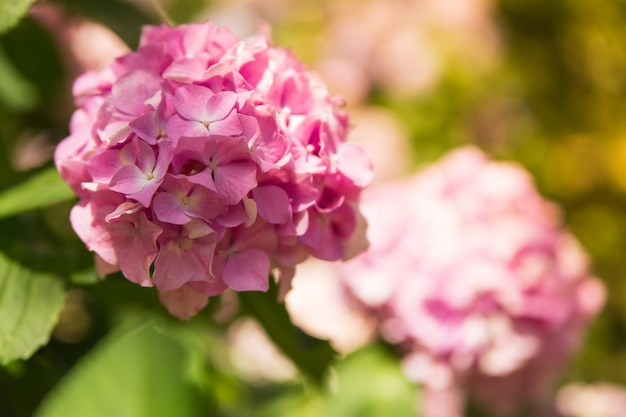 Beautiful pink hydrangea or hortensia flower on the natural sunny close up. summer flowers