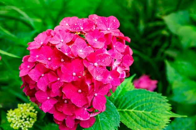 夏の庭の美しいピンクのアジサイは花の背景をクローズアップ