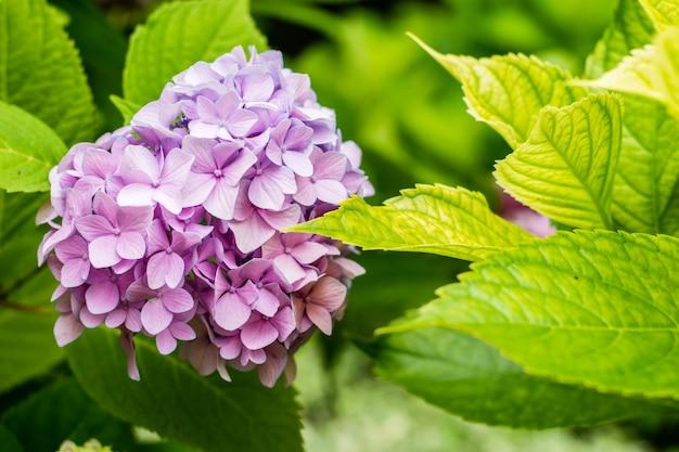 Красивый розовый цветок гортензии или гортензий крупным планом.