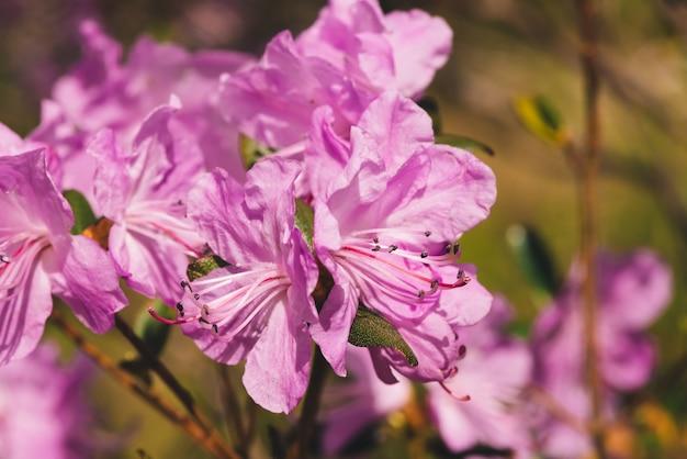 아름 다운 핑크 ledum 개화를 닫습니다.
