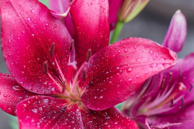 雨の後に水の滴で美しいピンクのユリの花。庭のピンクのユリ
