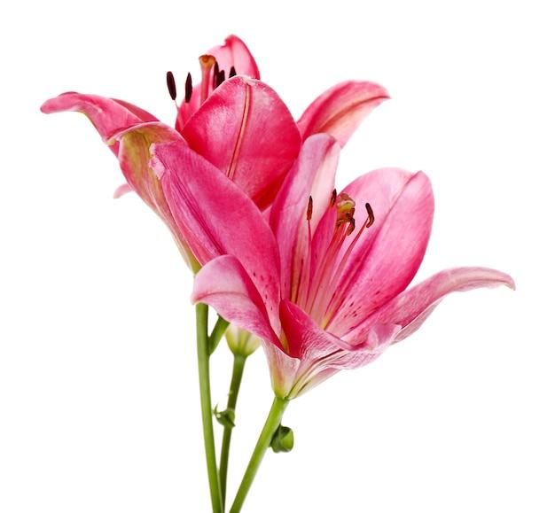 白で隔離の美しいピンクのユリの花