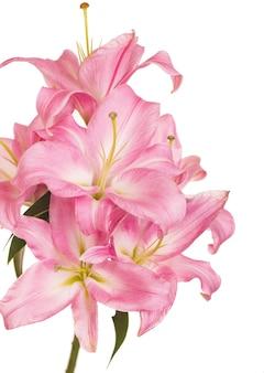白で隔離された美しいピンクのユリ