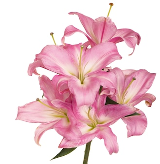 Beautiful pink lily, isolated on the white