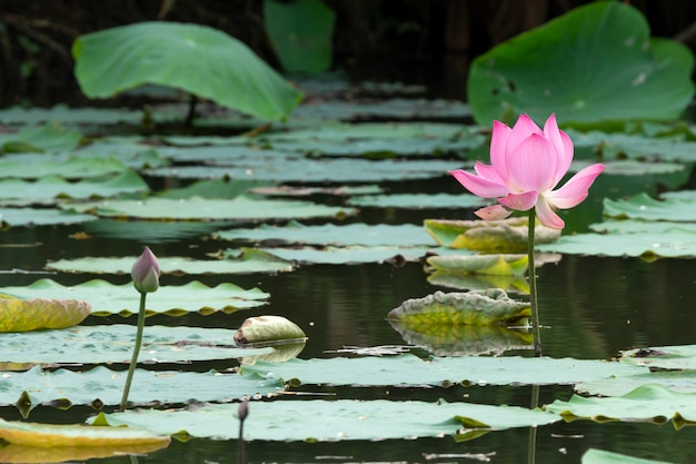 Beautiful pink lotus blooming in a pond