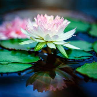 Beautiful pink lotus on blue surface water in pond