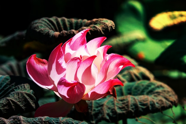 Beautiful pink lotus flower in blooming with morning sun