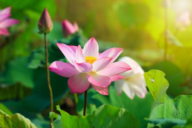 Beautiful pink lotus flower in blooming Premium Photo