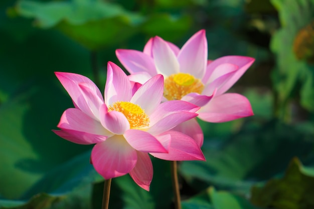 Beautiful pink lotus flower in blooming