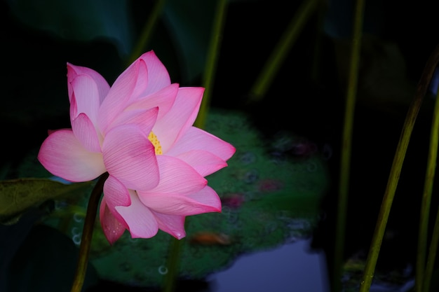 Beautiful pink lotus flower blossom with leaf in pond.
