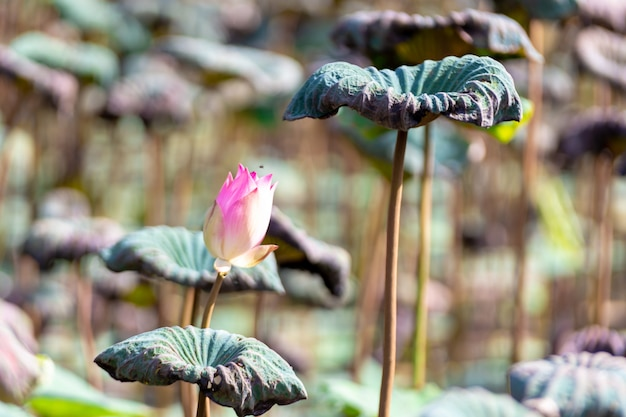 Beautiful pink lotus flower . close focus with green leaf in in pond, deep blue water surf