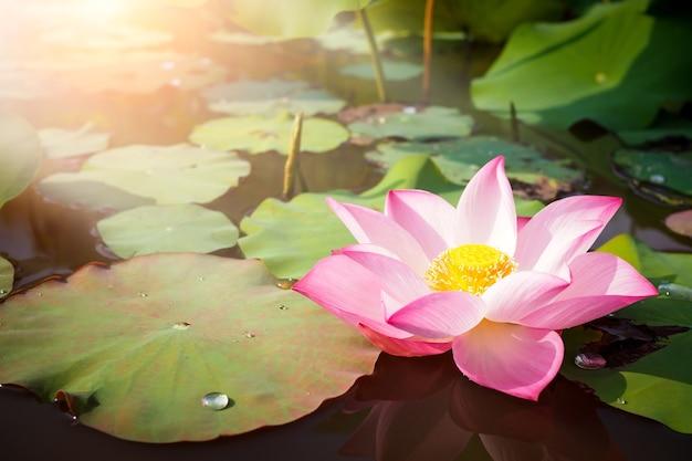背景のために日の出と自然に美しいピンクの蓮の花