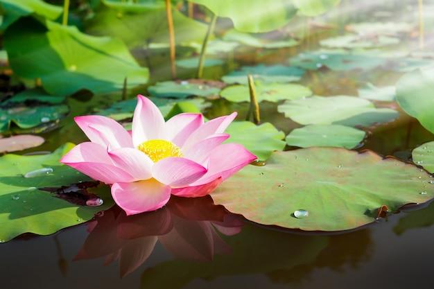 日の出と自然の中で美しいピンクの蓮の花