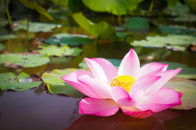 Beautiful pink lotus flower in nature for background