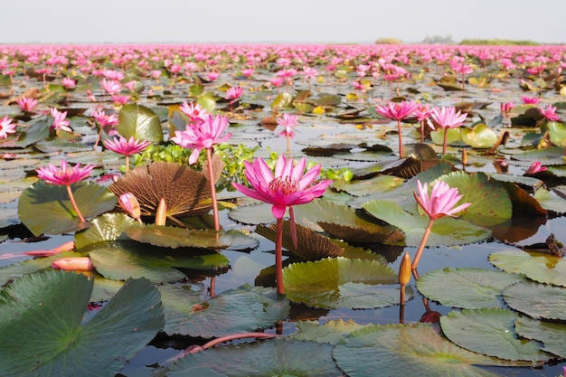 Beautiful pink lotus flower in nature with sunrise for background