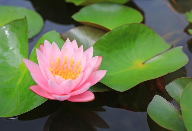 Beautiful pink lotus flower in pond, close-up water lily and leaf in nature.