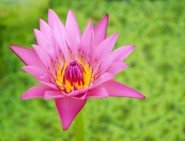 Beautiful pink lotus flower or waterlily over green plant background