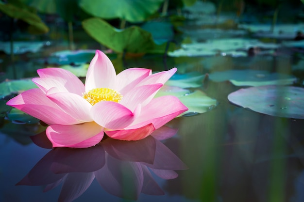 Beautiful pink lotus flower with green leaves in nature  background