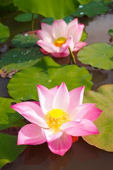 Beautiful pink lotus flower with green leaves in nature