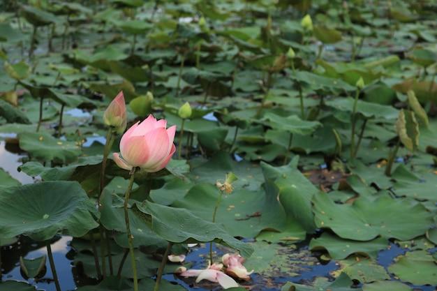 Красивый розовый лотос в пруду