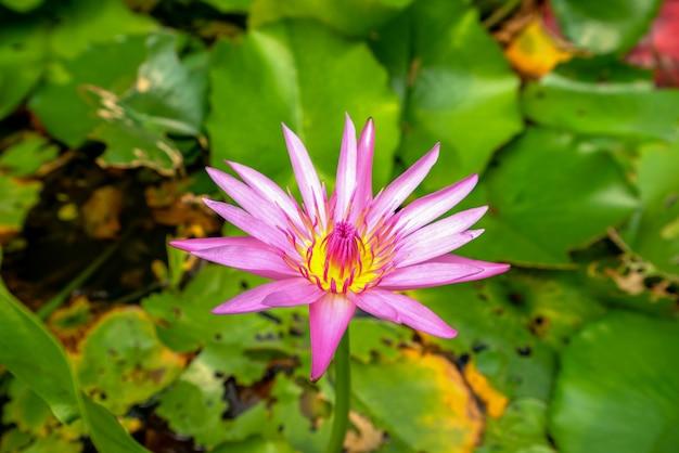 Beautiful pink lotus lotus leaf background
