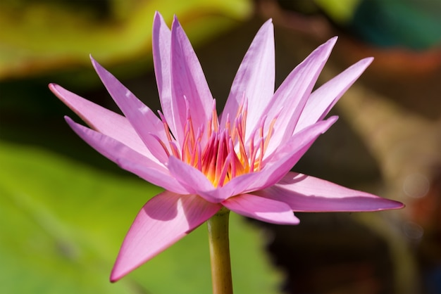 Beautiful pink lotus or water lily flower with green leaf in the pond.
