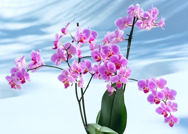 눈 배경에서 아름 다운 핑크 마젠타 난초 꽃 식물