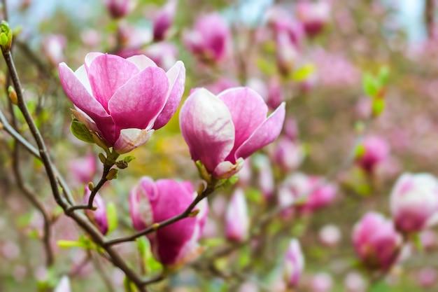 봄에 피는 아름 다운 분홍색 목련 분기 나무
