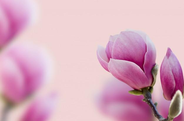 Beautiful pink magnolia flower blooming.