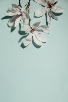 Beautiful pink magnolia flowers on blue background. top view. flat lay. spring minimalistic concept