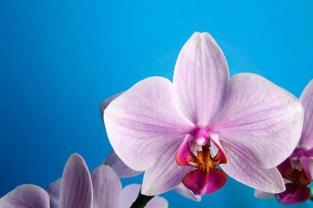 Beautiful pink orchid on blue background with space for text